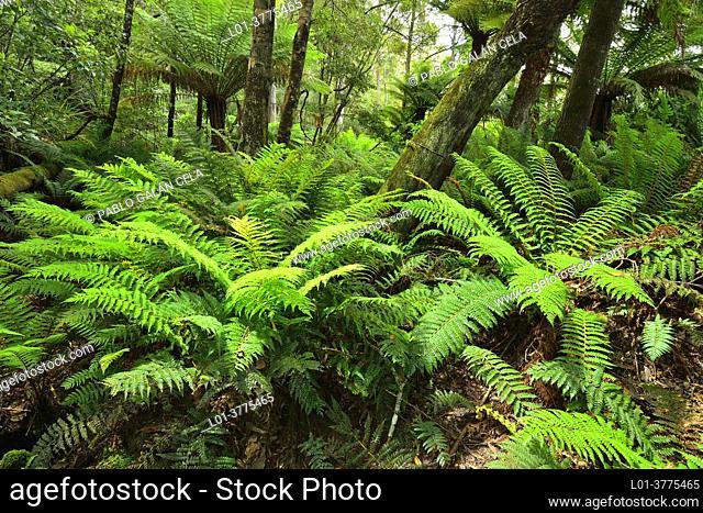 Wet forest with ferns in Arthur River valley, Tarkine, North West, Tasmania (Australia)