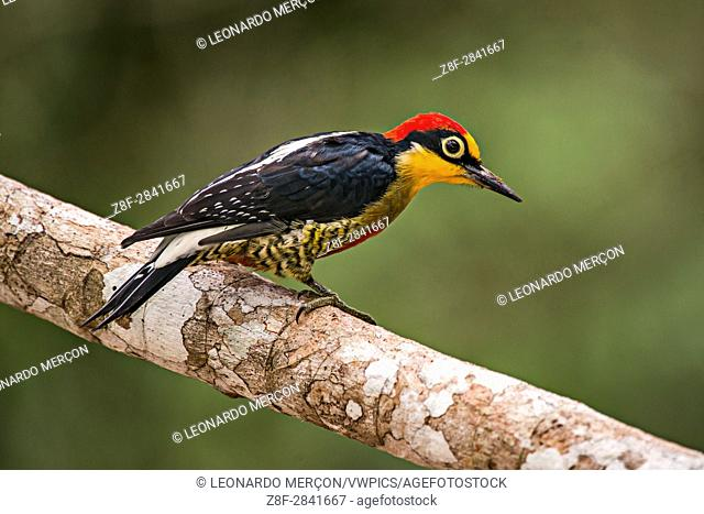 Yellow-fronted Woodpecker (Melanerpes flavifrons), photographed in Sooretama/Linhares Linhares, Espirito Santo - Brazil. Atlantic Forest Biome