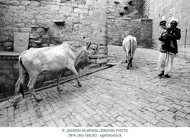 Cows and man walking on cobbled street Jaisalmer Rajasthan India Asia 1984