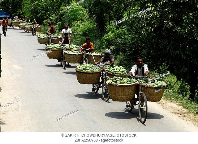 People carrying mango from garden to mango market for sale in Bangladesh