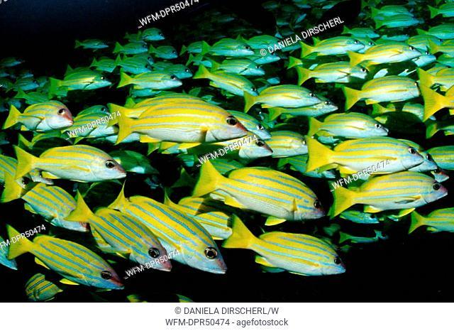 Bluestripe Snapper schooling, Lutjanus kasmira, Ellaidhoo House Reef, Ari Atoll, Maldives