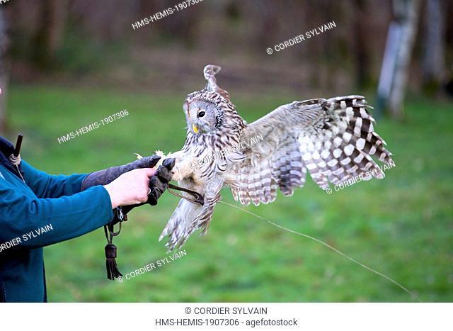 France, Loiret, Sologne, Ligny le Ribault, Ural Owl (Strix uralensis), flying