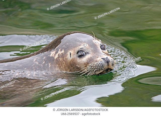 Seal at Svolvaer, Norway