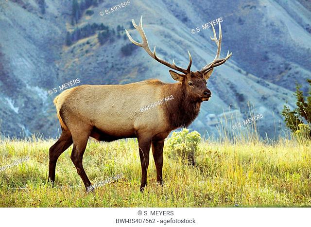 wapiti, elk (Cervus elaphus canadensis, Cervus canadensis), stag in rutting season, USA, Wyoming, Yellowstone National Park, Mammoth Hot Springs