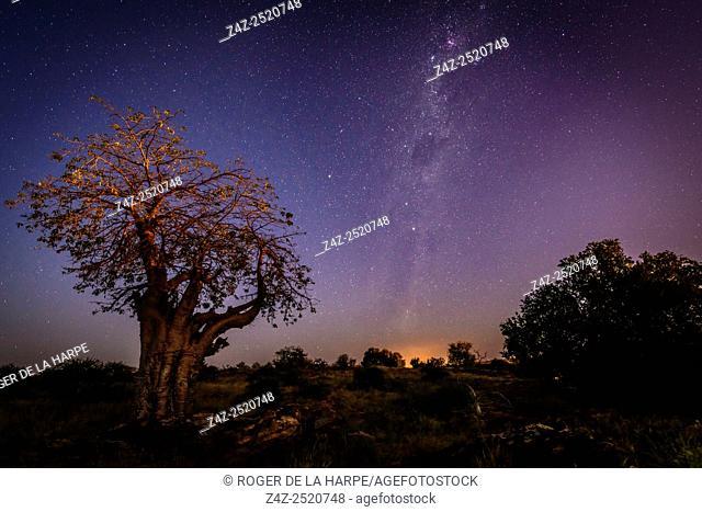 Baobab, Kremetart, Kuka, Seboi, Mowana, Shimuwu or Muvhuyu (Adansonia digitata) at night with the Milky Way. Mashatu Game Reserve