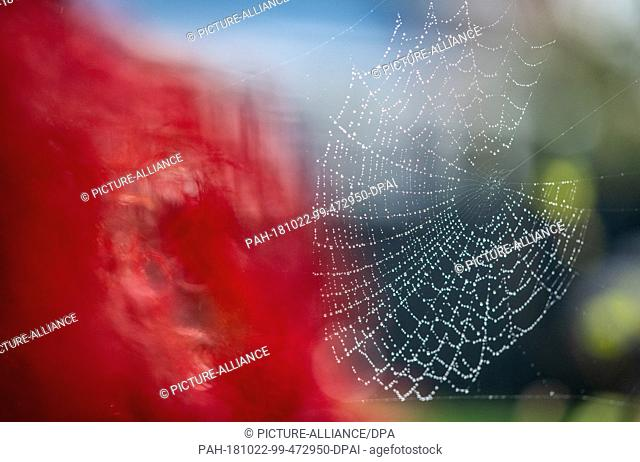 22 October 2018, North Rhine-Westphalia, Warendorf: A spider's web covered with raindrops hangs on a Japanese maple coloured red in autumn