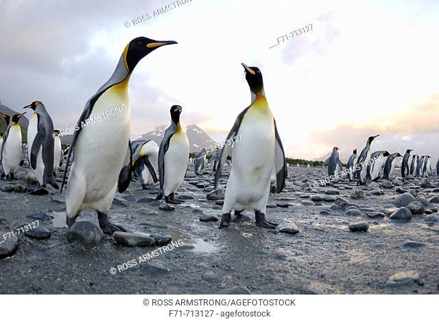 King penguin colony (Aptenodytes patagonicus). Salisbury Plain, South Georgia