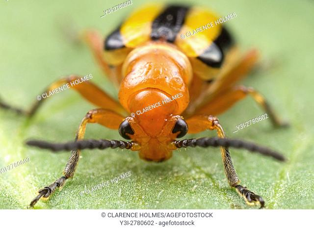 A frontal view of a Three-lined Potato Beetle (Lema daturaphila) perched on a leaf