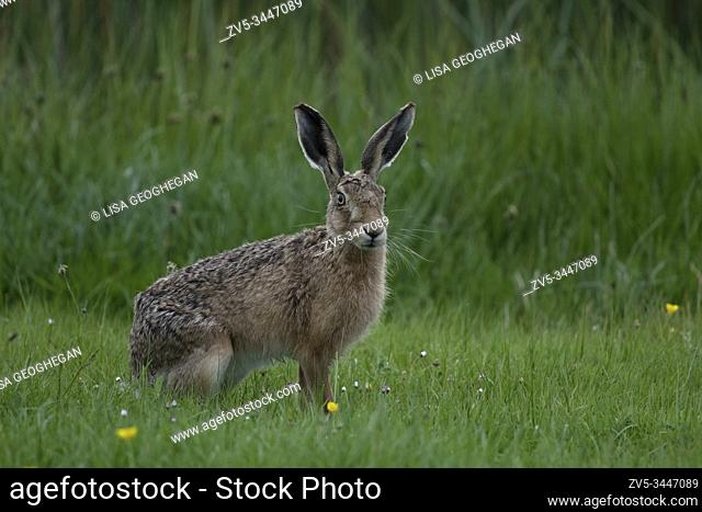 Brown Hare- Lepus europaeus. Spring