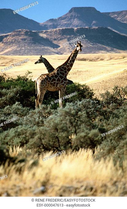 Giraffes (Giraffa camelopardalis). Skeleton Coast Desert. Namibia