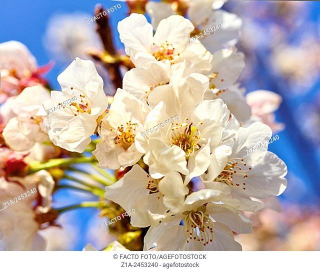 Blossom cherry tree at the Vall de Laguar. Alicante. Valencia Community. Spain
