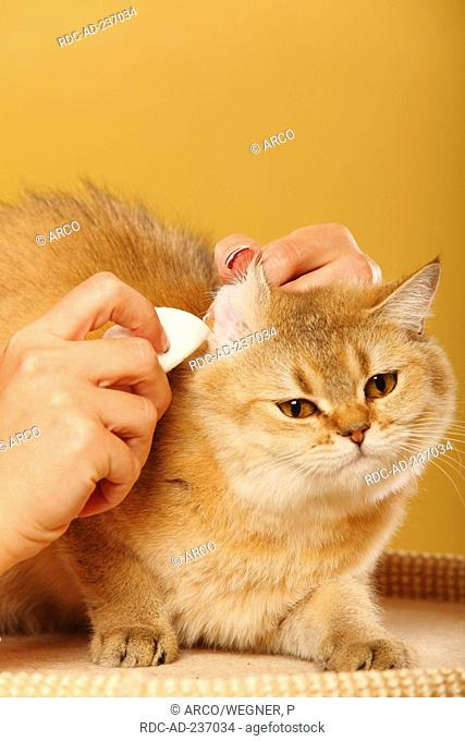 British Shorthair Cat / cleaning ears, cotton wool