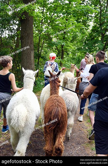 09 May 2020, Saxony, Kahnsdorf: A first hike this year with the alpacas of Diana Gröhmann from the Alpaca-Shop Leipziger Land can be enjoyed by a family from...