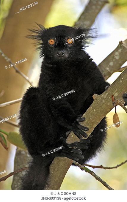 Black Lemur, Lemur macaco, Nosy Komba, Madagascar, adult male on tree
