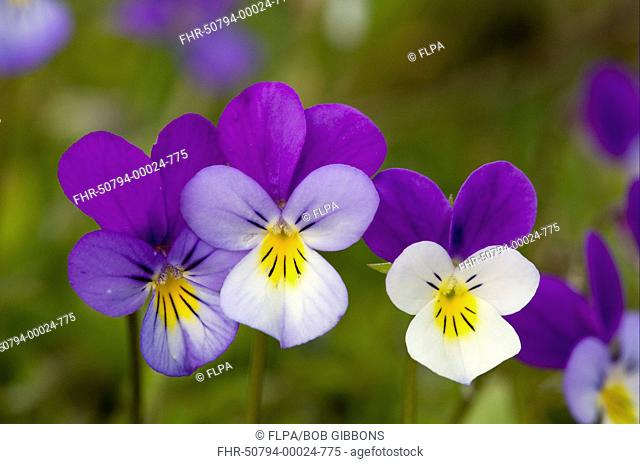 Wild Pansy Viola tricolor close-up of flowers, growing in mountain pasture, Bulgaria, may