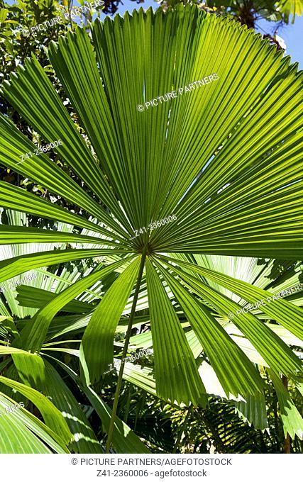 Fan palm leaves in the sun