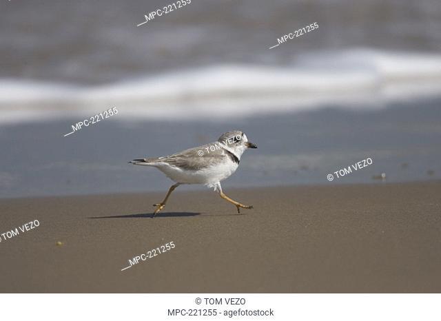 Piping Plover Charadrius melodus running along shoreline, Rio Grande Valley, Texas