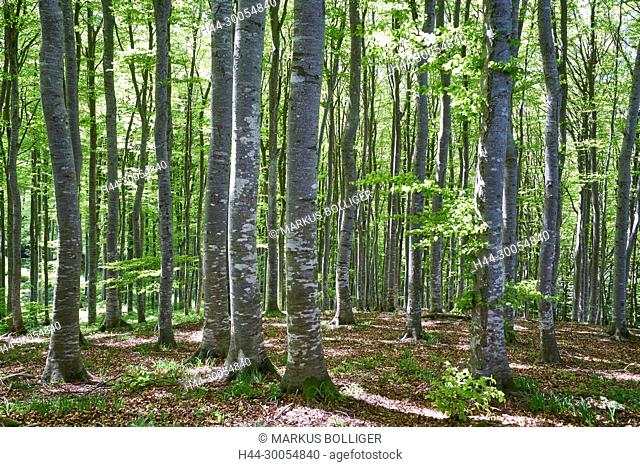 Wood, deciduous forest, Buchenwald, Fagetum, Fagus sylvatica, spring, timber forest
