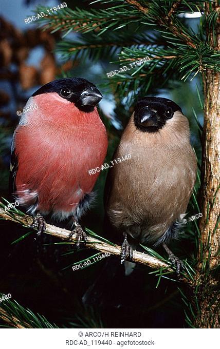 Bullfinches pair Pyrrhula pyrrhula finches