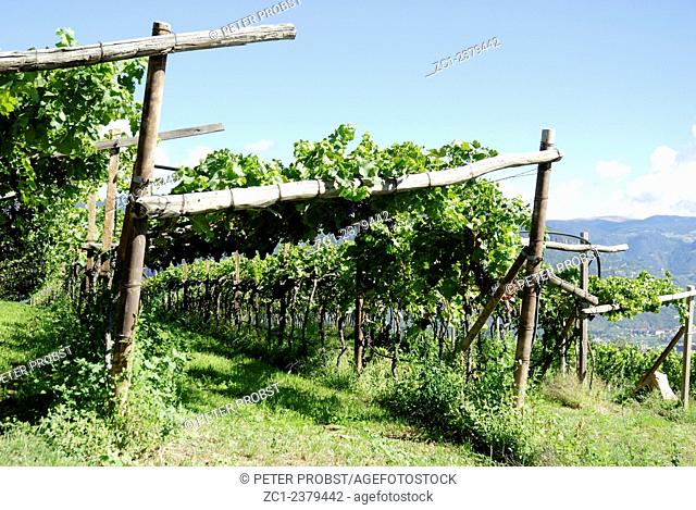Vineyard in Girlan at the South Tyrolean wine street at Bozen in Italy - Caution: For the editorial use only. Not for advertising or other commercial use