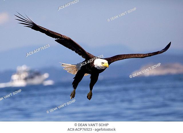 Bald Eagle (Haliaeetus leucocephalus) in Flight, Raptor, Fishing, Summer, blue sky, sunshine, pleasure craft, Islands, calm ocean waters, Lund, B.C