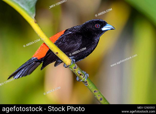 Cherrie's Tanager - Cherrie's Tanager perched on a branch - South America Costa Rica
