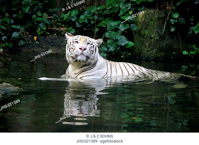 Indian Tiger White Form, White tiger, Bengal tiger, (Panthera tigris tigris), adult in water, India, Asia