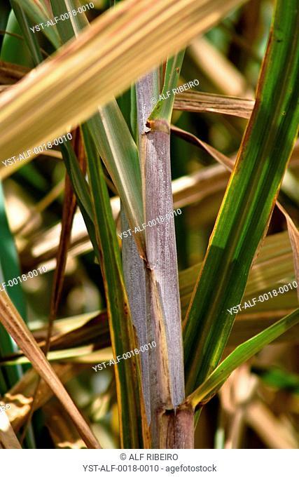 Plantation, sugar cane, agriculture, Mato Grosso do Sul, Brazil