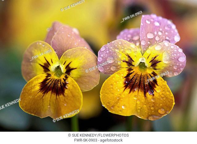 Viola Viola Viola cornata Deltini series Violas, Viola Dentini, Pansy, close up of two flowers covered in rain drops
