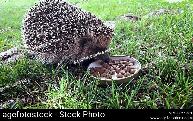 Hungry hedgehog eating cat food from a bowl in the back yard