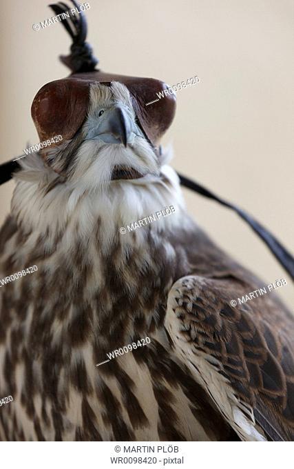 falcon with falcon's hood