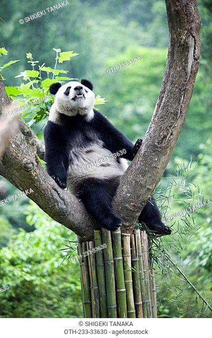 Giant panda, Wolong, Wenchuan, Sichuan, China