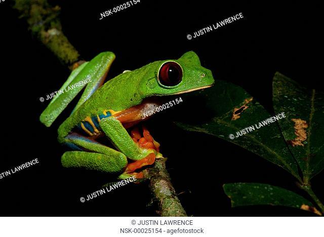 Red-Eyed Tree Frog (Agalychnis callidryas) awake for the night