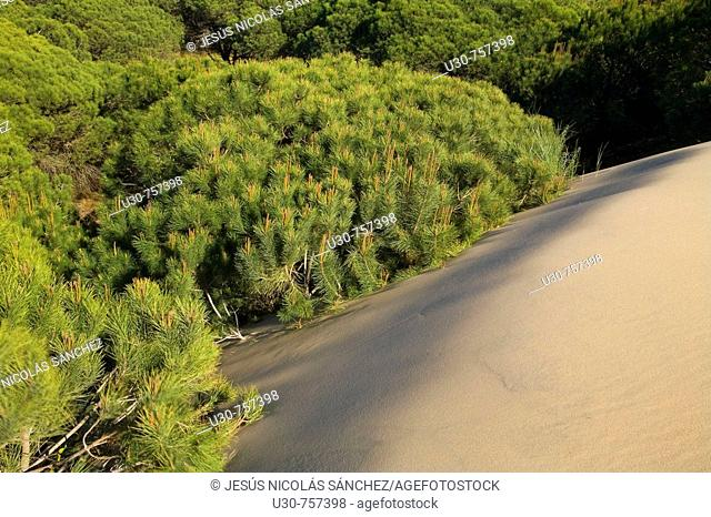 Pine forest buried by sand dunes. Doñana National Park. Huelva, Andalucia, Spain, Europe