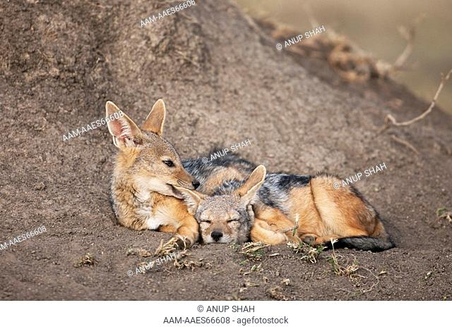 Black-backed Jackal pups 6-9 months old resting at entrance to the den (Canis mesomelas). Maasai Mara National Reserve, Kenya. August 2009