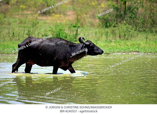 Water buffalo (Bubalis bubalis), adult female, running through water, Udawalawe National Park, Sri Lanka