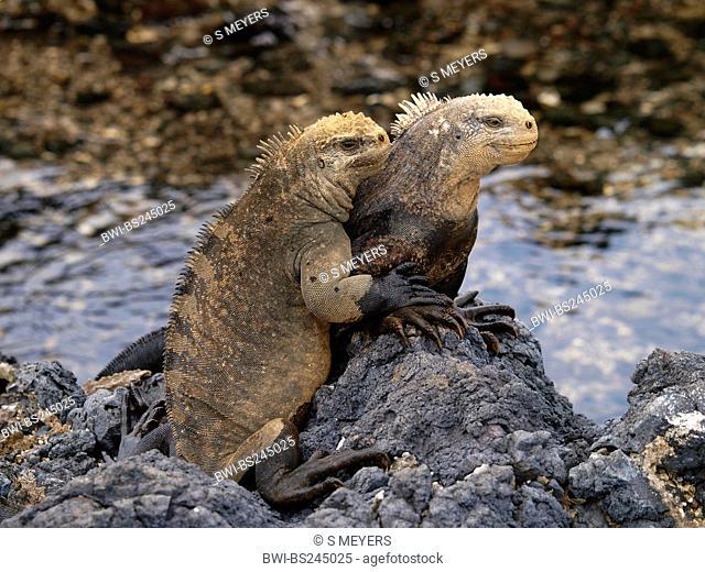 marine iguana, Galapagos marine iguana Amblyrhynchus cristatus, two individuals siting on lavastones, Ecuador, Galapagos Islands, Isabela