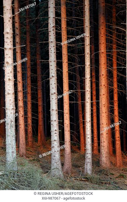 Fir Tree Stems Picea abies, in glow of setting sun, Germany
