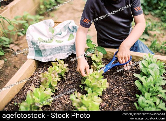 Little boy harvesting the lettuce in the family garden
