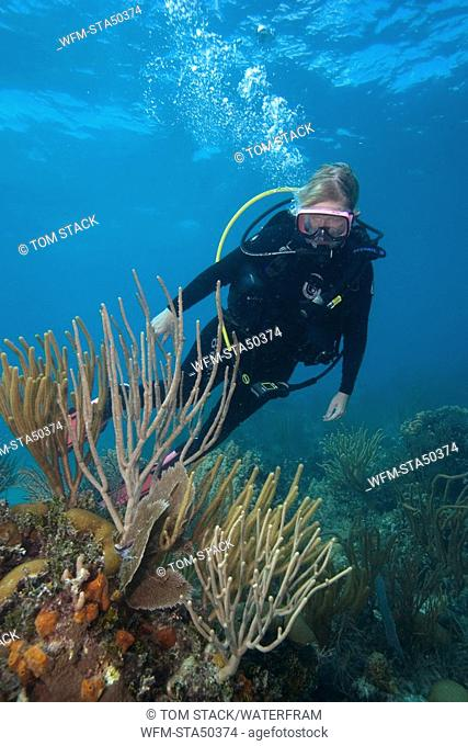 Scuba Diver and Whip Corals, Pseudoplexaura sp., Islamorada, Florida Keys National Marine Sanctuary, Florida, USA