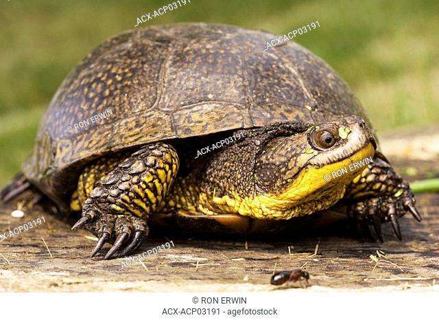 Blanding's Turtle Emydoidea blandingii Endangered - Nova Scotia, Threatened - Great Lakes/St  Lawrence, Manitoulin Island, Ontario, Canada