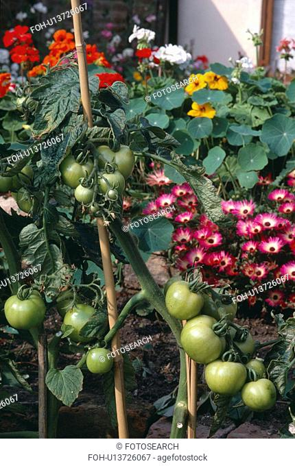 Close-up of green tomatoes with pink mesembryanthemums