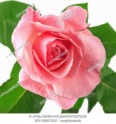 Pink rose flower covered dew isolated on white background