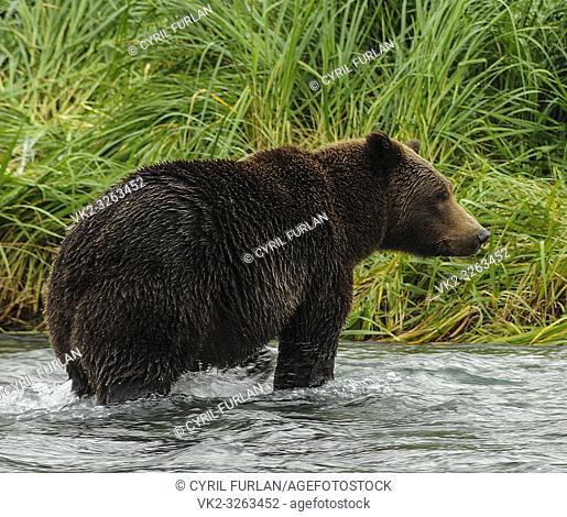 Female brown bear standing in a salmon stream, Katmai National Park Alaska