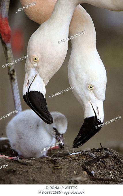 Chile-flamingos, Phoenicopterus chilensis, parents-animals, detail, heads, chicks, nest, animals, birds, three, plover-birds, waterfowls, flamingos, alto-birds