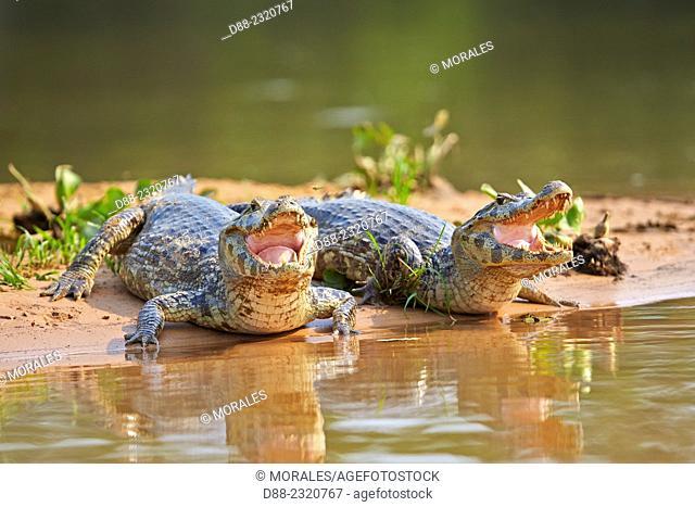 South America, Brazil, Mato Grosso, Pantanal area, Yacare caiman (Caiman yacare), resting on the bank of the river
