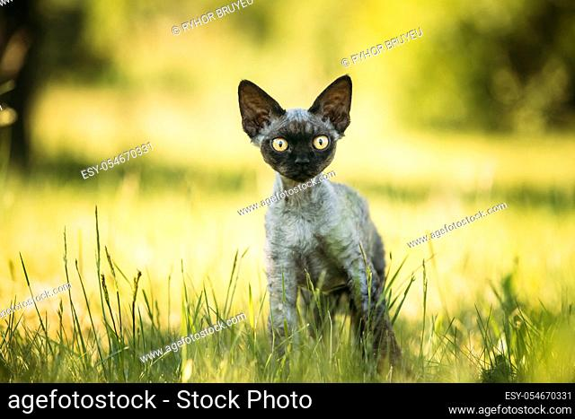Funny Young Gray Devon Rex Kitten In Green Grass. Short-haired Cat Of English Breed