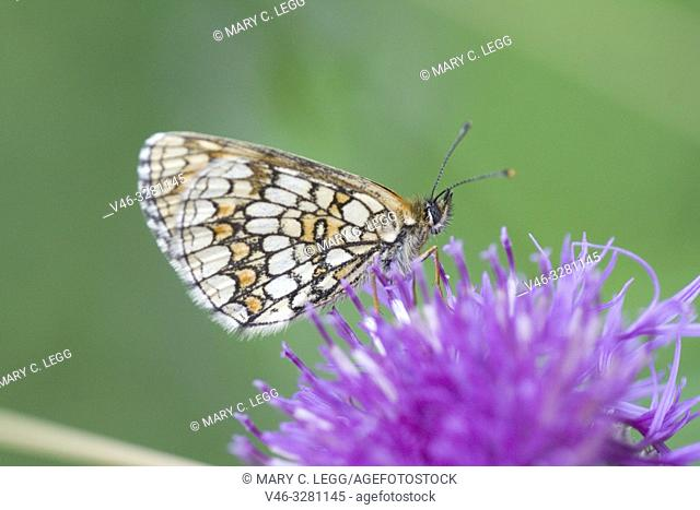 Nickerl's Fritillary Melitaea aurelia, checquered fritillary found in nutrient poor grasslands, calcareous fens and rocky slopes and scrubland