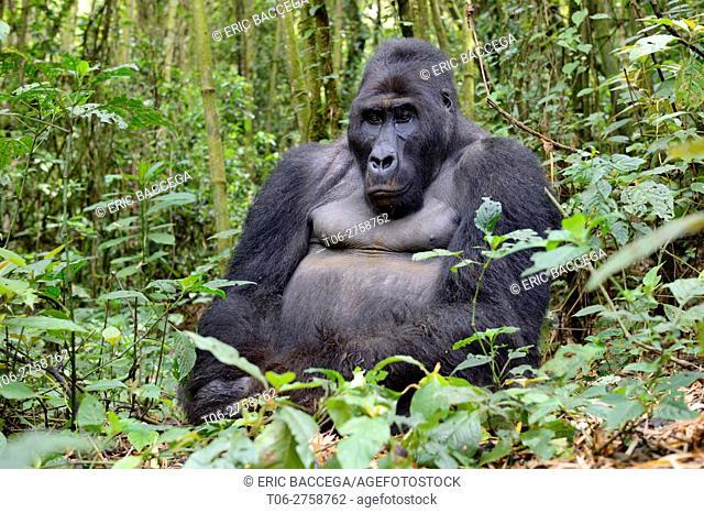 Silverback eastern lowland gorilla (Gorilla beringei graueri) in the equatorial forest of Kahuzi Biega National Park. South Kivu, Democratic Republic of Congo