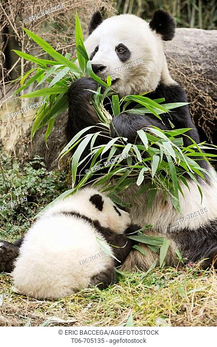 Giant panda mother feeding on bamboo and baby (Ailuropoda melanoleuca) Wolong Nature Reserve, China